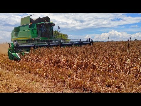 Harvesting Sorghum In Kenya