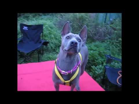 Тайский риджбек Тая и вертолет - YouTube