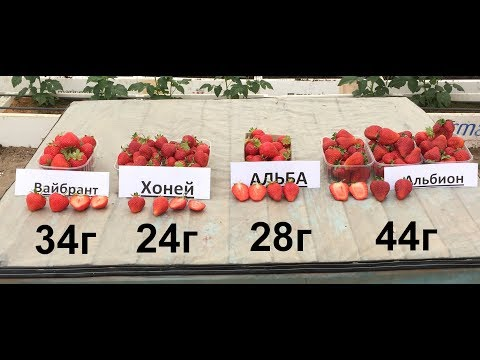 Сравнение сортов клубники - Вайбрант, Хоней, Альба и Альбион (ч.2).   крупноплодная   земляника   клубника   интернет   вайбрант   саженцы   магазин   крупная   альбион   ранняя