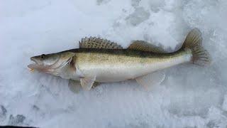 Ловля судака Зимняя рыбалка Новые приключения
