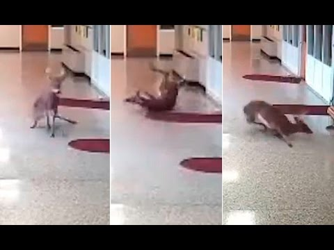 clumsy-deer-struggles-to-stay-upright-on-slippery-floors