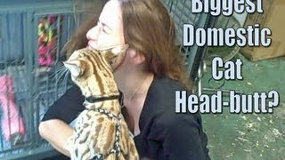 A manly cat - two of the biggest cat head butts