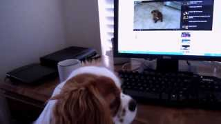 Annabelle Cavalier King Charles Watches Cooper The Ruby Cavalier King Charles Spaniel On Youtube