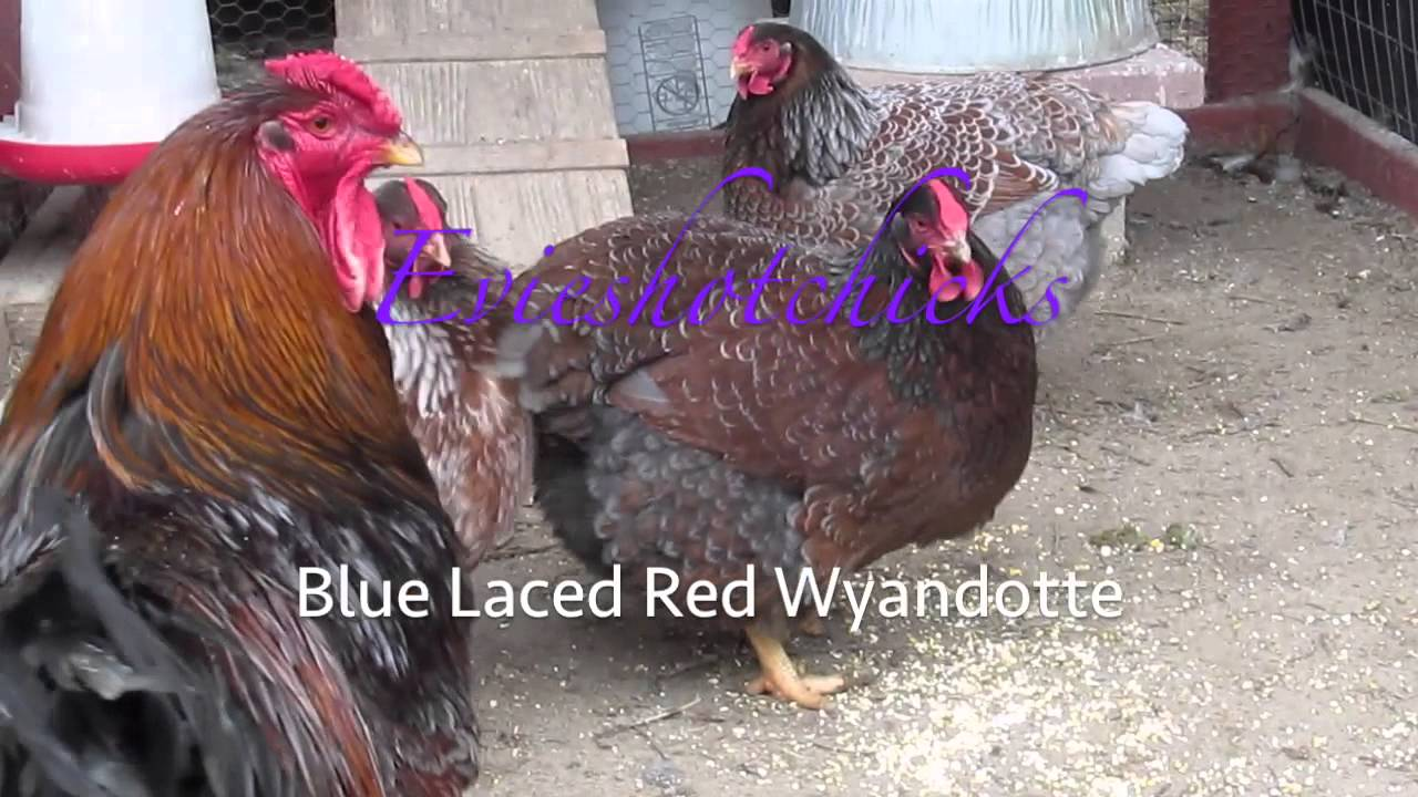 Blue Laced Red Wyandotte - YouTube
