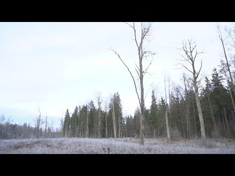 Paaiškino, kaip kertami miškai: paliekami pavieniai medžiai – gyvybiškai svarbūs
