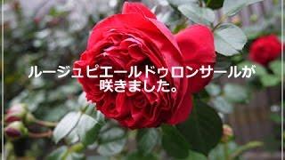 ルージュピエールドゥロンサールが咲きました。( 2015年4月29日 )