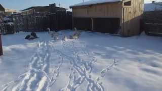 The content of geese in the winter/ Conditions for breeding geese/ Geese home