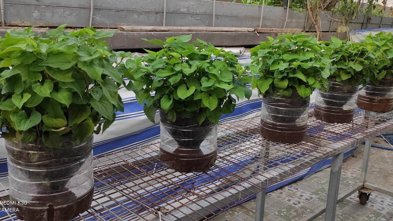 Thu gom bình 6 lít trồng rau Dấp Cá , phần đáy bình còn lưu giữ nước rau luôn tươi | Khoa Hien 392