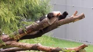 Падающие панды компиляция Falling pandas compilation