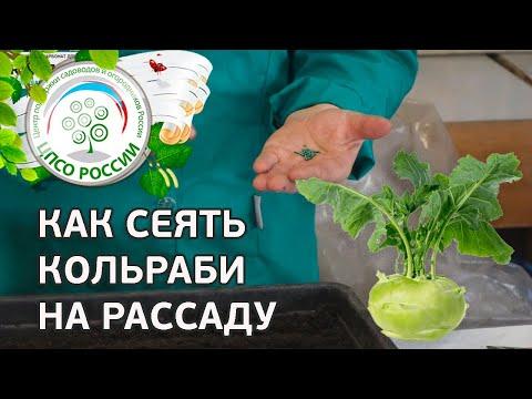 Кольраби - выращивание из семян. Посев семян капусты кольраби.