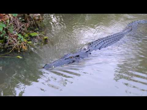 4K] Saltwater Crocodile, Yellow water cruise, Kakadu, NT, Au