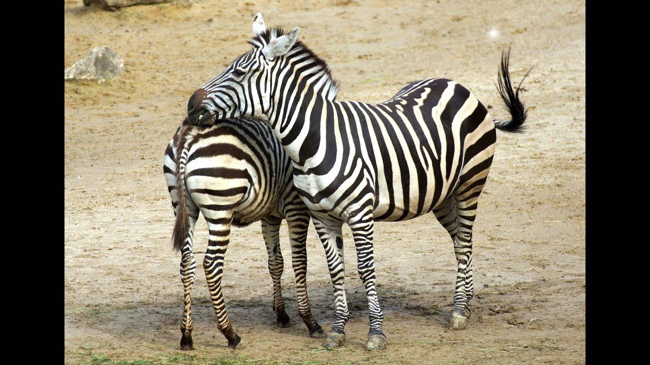 Download KUDA ZEBRA YANG BERINDERA TAJAM - Video Slideshow Hewan & Binatang Lucu