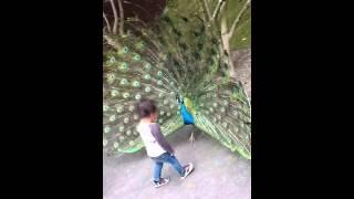 【動物】孔雀(クジャク)が威嚇して綺麗な羽を広げてるのに子供が近づいてくwww【危険】