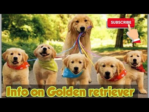 Golden retriever dog Tamil info