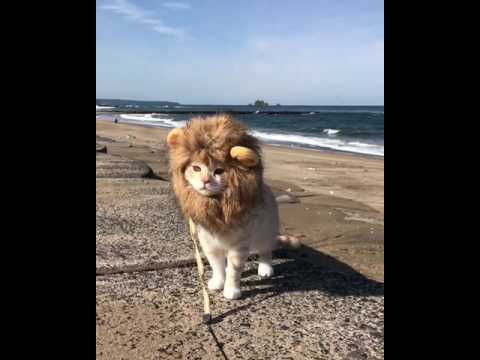 Beautiful cat in lion costume