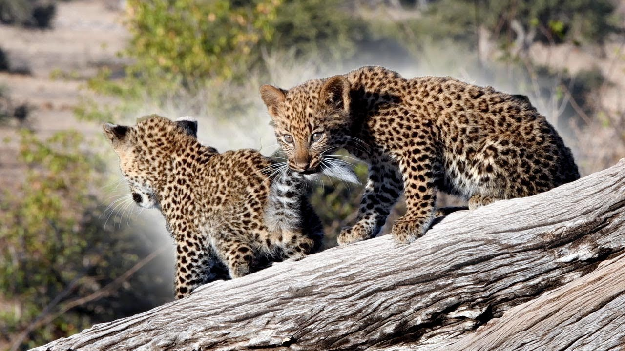 Pair Of Leopard Cubs Caught Playing Together
