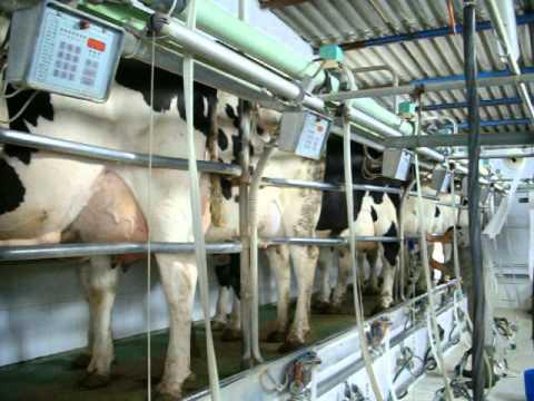 Sala de ordeo de vacas de lecheLos PedrochesEspaa  YouTube