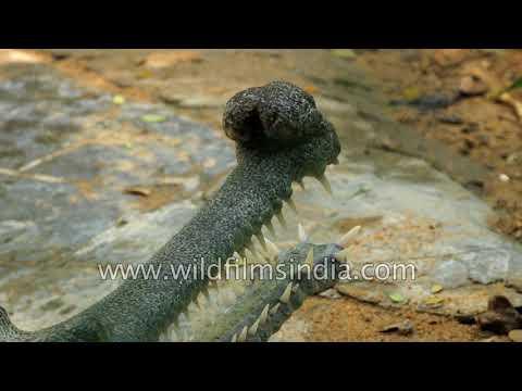 Madras Crocodile Bank - successful private initiative to breed crocs