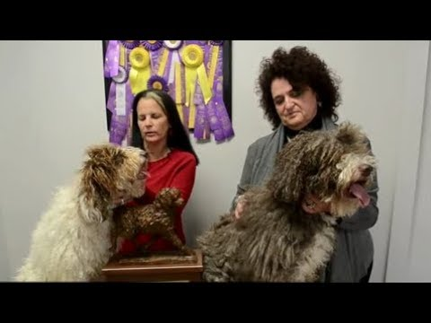 What makes a Spanish water dog?