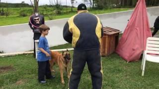 Cão defende criança de agressor  Pastor Belga Malinois. Cão de Guarda