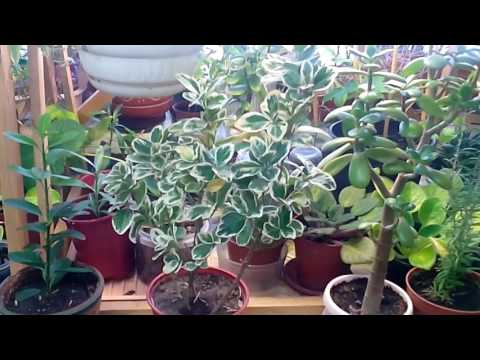 Бересклет – листья бересклета, цветы и плоды бересклета