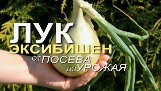 Выращивание ЛУКА ЭКСИБИШЕН от посева до урожая! Советы от ЗЕЛЕНОГО ОГОРОДА!