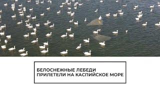 Лебеди прилетели на Каспийское море