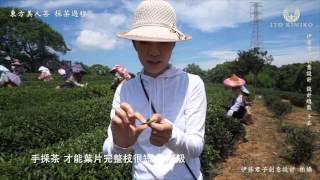 東方美人茶 採茶紀錄 @ 日新製茶廠