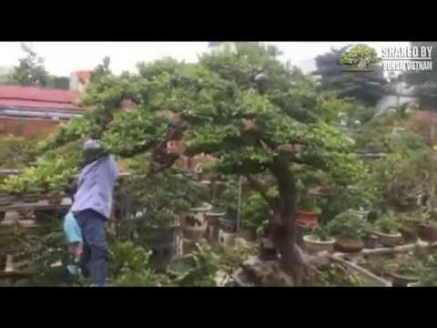 Tác phẩm Hải Châu bonsai || Bom tấn Quy Nhơn