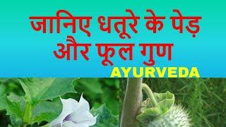 साइटिका गठिया और वात रोगों का अंत/datura uses in ayurveda/धतूरा के औषधीय गुण/धतूरे के फायदे