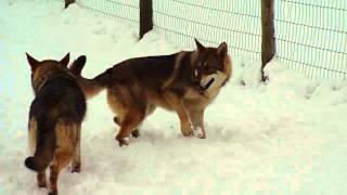 Shoshone Wolfzone Hybrids Devon