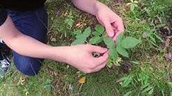 Kasvio: Lajin tunnistaminen