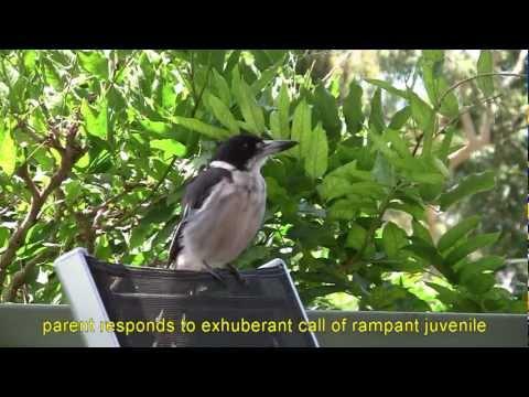 GREY BUTCHERBIRD SONGS