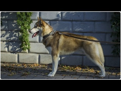 handsome-husky-on-the-walk-with-his-studded-leather-dog-collar-on