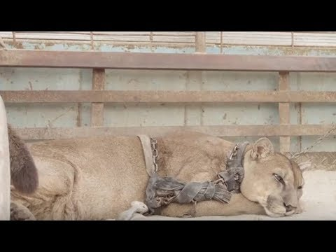 Mountain Lion Chained Up In Rusty Truck For 20 Years. But What Happens Next— He's Not Ready