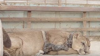 Mountain Lion Chained Up In Rusty Truck For 20 Years. But What Happens Next- He's Not Ready
