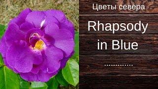 Голубая роза Rhapsody in Blue (Рапсодия ин Блу)