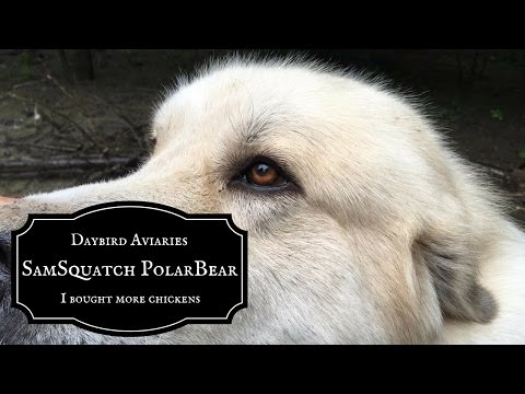 SASQUATCH REPELLENT -  Meet Sam, our beloved Great Pyrenees Livestock Guardian Dog