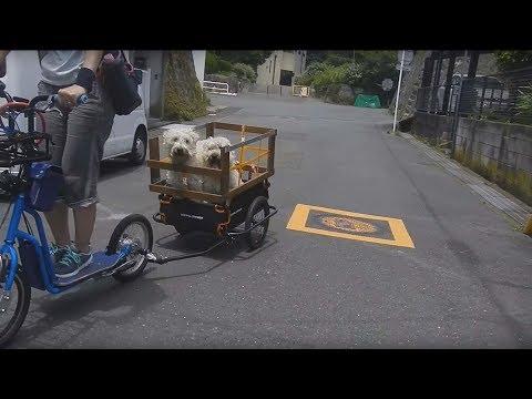 Wheaten Terrier riding a Cycle Trailer.