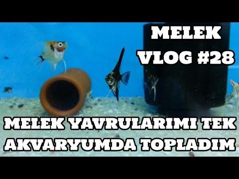 Melek Vlog #28 (Melek Yavrularımı Tek Akvaryumda Topladım)