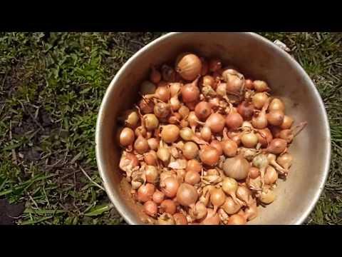 Вопрос: Как за весну-лето с одной грядки можно снять несколько урожаев укропа?