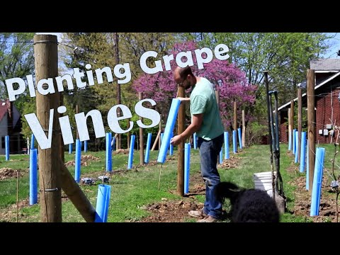 How To Plant Wine Grapes Youtube