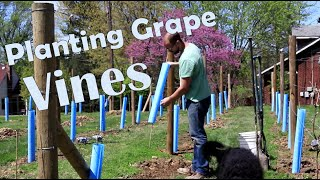 How to Plant Wine Grapes