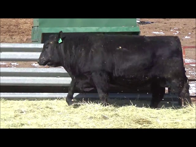 Connealy Angus Lot 476