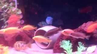 Малавийские цихлиды и их потомство) бирюзовые акары, красные попугаи,