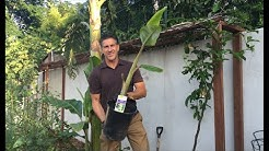 "Ice Cream Banana Plant | Transplanting Sucker ""Pups"" | IV Organic Sunblock Spray"