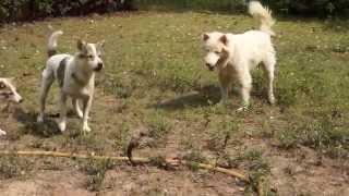Смотреть видео Thai Bangkaew Dog