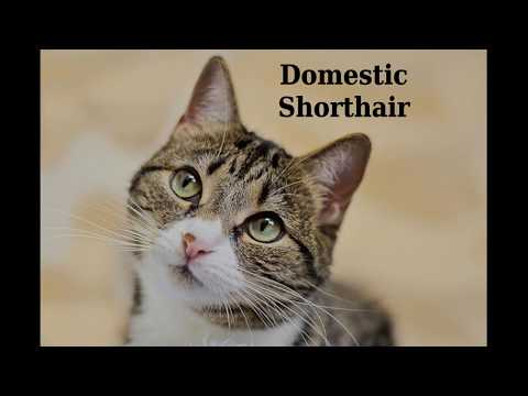 Domestic Shorthair - cat breed
