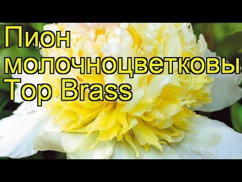 Пион молочноцветковый Топ Брасс. Краткий обзор, описание характеристик paeonia lactiflora Top Brass