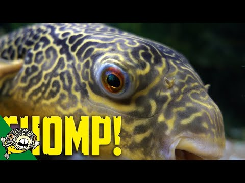 Giant Puffer Fish Eats Clams And Crabs!